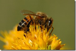 Honey_Bee_BTA_092708_074