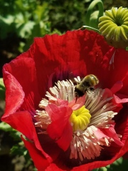 Bumblebee in a poppy in our front yard
