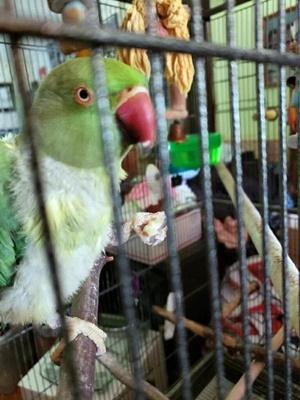 rajalary, julie lary, fidori ringneck parakeet